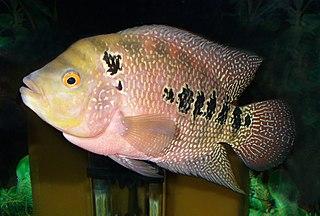 Three spot cichlid Species of fish