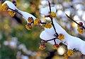 "Cincinnati - Spring Grove Cemetery & Arboretum - Cornelian Cherry Dogwood ""Winter & Spring Collide"" (39166336260).jpg"