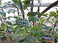 Cinnamomum camphora (DITSL).JPG