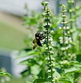 Cinnamon Basil and Bumblebee 1 LR.jpg