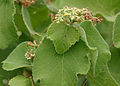 Cissus species is it W2 IMG 0454.jpg