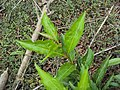 Citharexylum spinosum leaves 3.JPG
