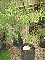 Citrus glauca - Eremocitrus glauca- NBGB - IMG 4455.JPG