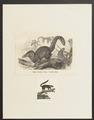 Cladobates tana - 1700-1880 - Print - Iconographia Zoologica - Special Collections University of Amsterdam - UBA01 IZ20900055.tif