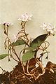 Claytonia caroliniana WFNY-069A.jpg