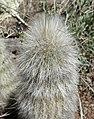 Cleistocactus hyalacanthus 3.jpg