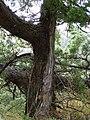 Cliff Shelf Nature Trail PA090097 Juniper tree.JPG