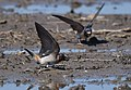 Cliff Swallows mud-dobbing (34352793940).jpg