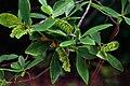 Cliftonia monophylla.jpg