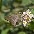 Close wing Hasora chromus (Common Banded Awl) butterfly.jpg