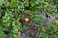 Cloudberry in Yugyd Va N.P.jpg
