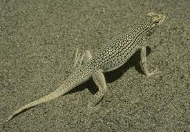 Coachella Valley Fringe-toed Lizard.JPG