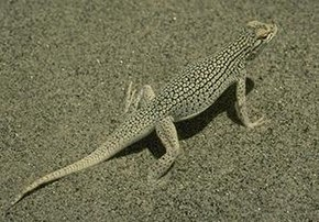 Description de l'image Coachella Valley Fringe-toed Lizard.JPG.