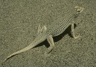 Robert C. Stebbins - A Coachella Valley fringe-toed lizard, subject of much of Stebbins' graduate research