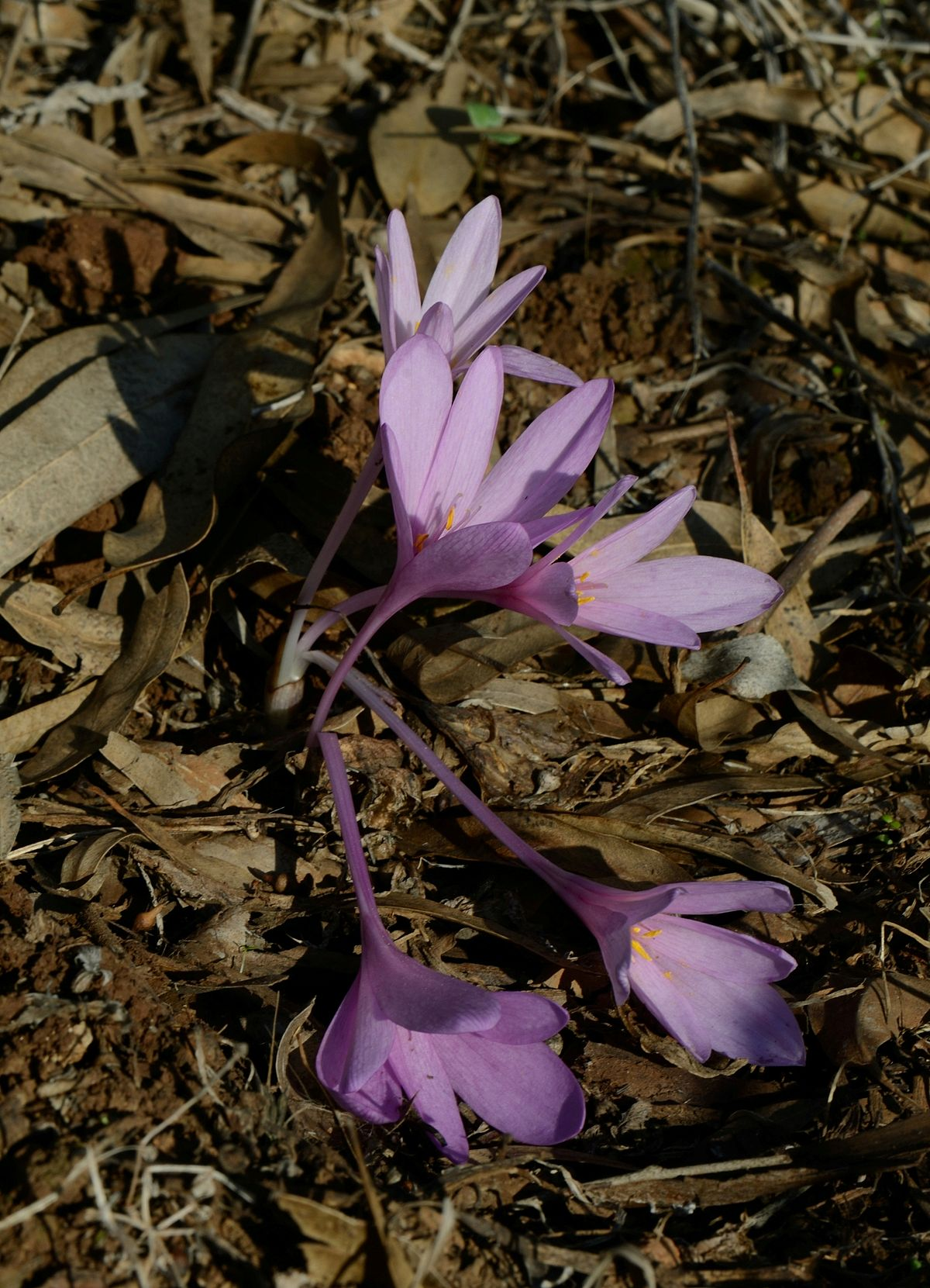 Colchicum hierosolymitanum - Wikimedia Commons