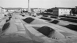 Collita de cacauet a les eres de la Cooperativa Agrícola del camí Trullàs (Alginet-País Valencià, 1959).jpg