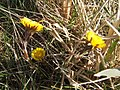 Coltsfoot in the sun - geograph.org.uk - 1222365.jpg