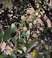 Comarostaphylisdiversifolia1.jpg