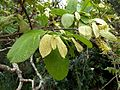 Combretum molle, loof en bloeiwyses, Krantzkloof NR.jpg