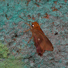 Common Awl (Hasora badra) at 23 mile near Jayanti in Duars, West Bengal W IMG 5849.jpg