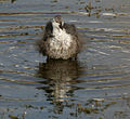 Common Coot (Fulica atra)- Juvenile bathing in Hyderabad, AP W IMG 7592.jpg