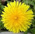 Common Dandelion (Taraxacum officinale) - Flickr - Jay Sturner (1).jpg