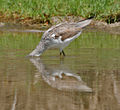 Common Greenshank (Tringa nebularia) at Bharatpur I IMG 5498.jpg