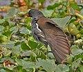 Common Moorhen (Gallinula chloropus)- Preening at Kolkata I IMG 2450.jpg