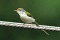 Common Tailorbird 2005 Shankar.JPG