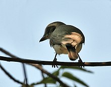 Common Woodshrike (Tephrodornis pondicerianus) at Sindhrot near Vadodara, Gujrat Pix 102.jpg