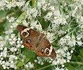 Common buckeye butterflies are abundant this year on the Refuge (6189022931).jpg