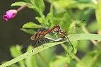 Common darter dragonflies (Sympetrum striolatum) mating blue abdomen and red pterostigma.JPG