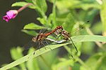 Common darter dragonflies (Sympetrum striolatum) mating blue abdomen and red pterostigma.JPG