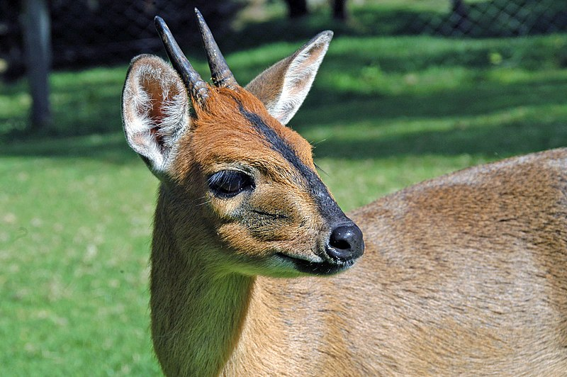 Bush Duiker image from Mount Kenya Wildlife Conservancy: http://www.animalorphanagekenya.org