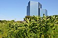 Common milkweed growing near a business (35220917926).jpg
