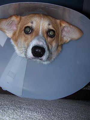 Morton does not like his Elizabethan collar at...
