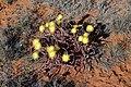 Conicosia pugioniformis subsp. pugioniformis (Aizoaceae) (23647458788).jpg