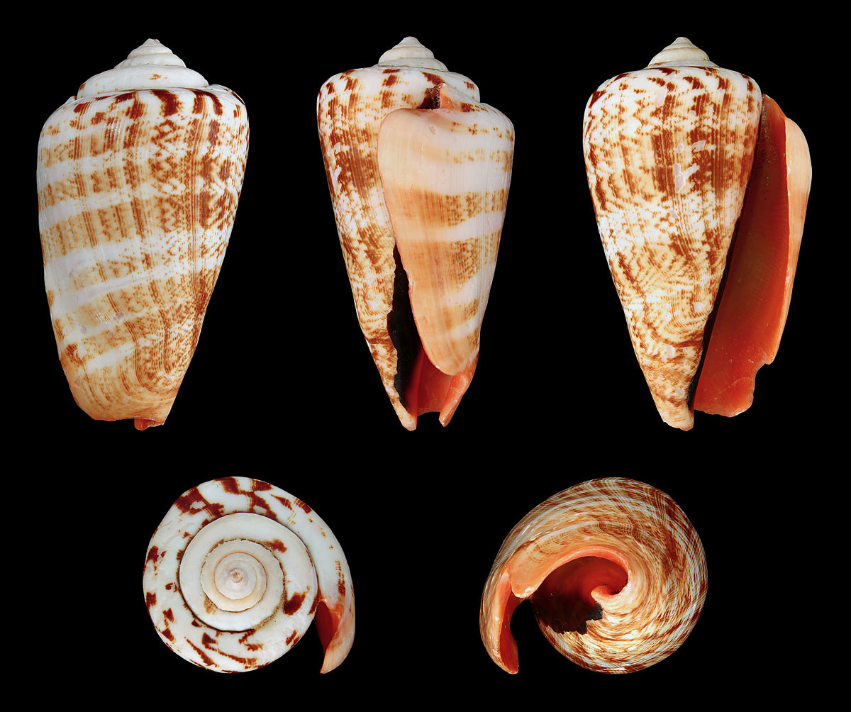 The Importance Of Identified Neurons In Gastropod Molluscs To >> Conomurex Luhuanus Wikipedia