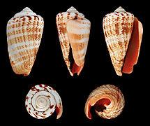 Conomurex luhuanus 01