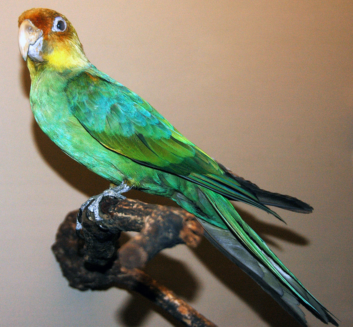 Carolina Parakeet Image Three