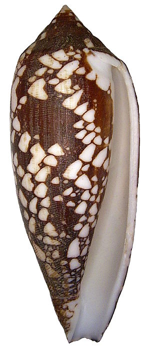 Cone snail - Shell of Conus aulicus. The lip has been artificially filed down, because it was chipped.
