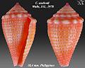 Conus axelrodi 1.jpg