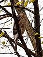 Cooper's hawk (10657).jpg