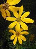 Coreopsis verticillata 2015-07-15 4424.jpg