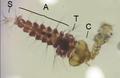 Corethrella larva feeding.png