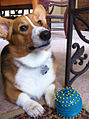 Corgi-with-blue-ball-103631293746869n3E.jpg