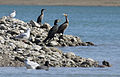 Cormoran - Phalacrocorax carbo 07.jpg