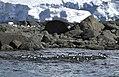 Cormoranes antárticos 1.jpg