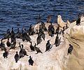 Cormorants and California sea lions in La Jolla (70597).jpg