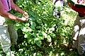 Cornus alternifolia (16309553006).jpg